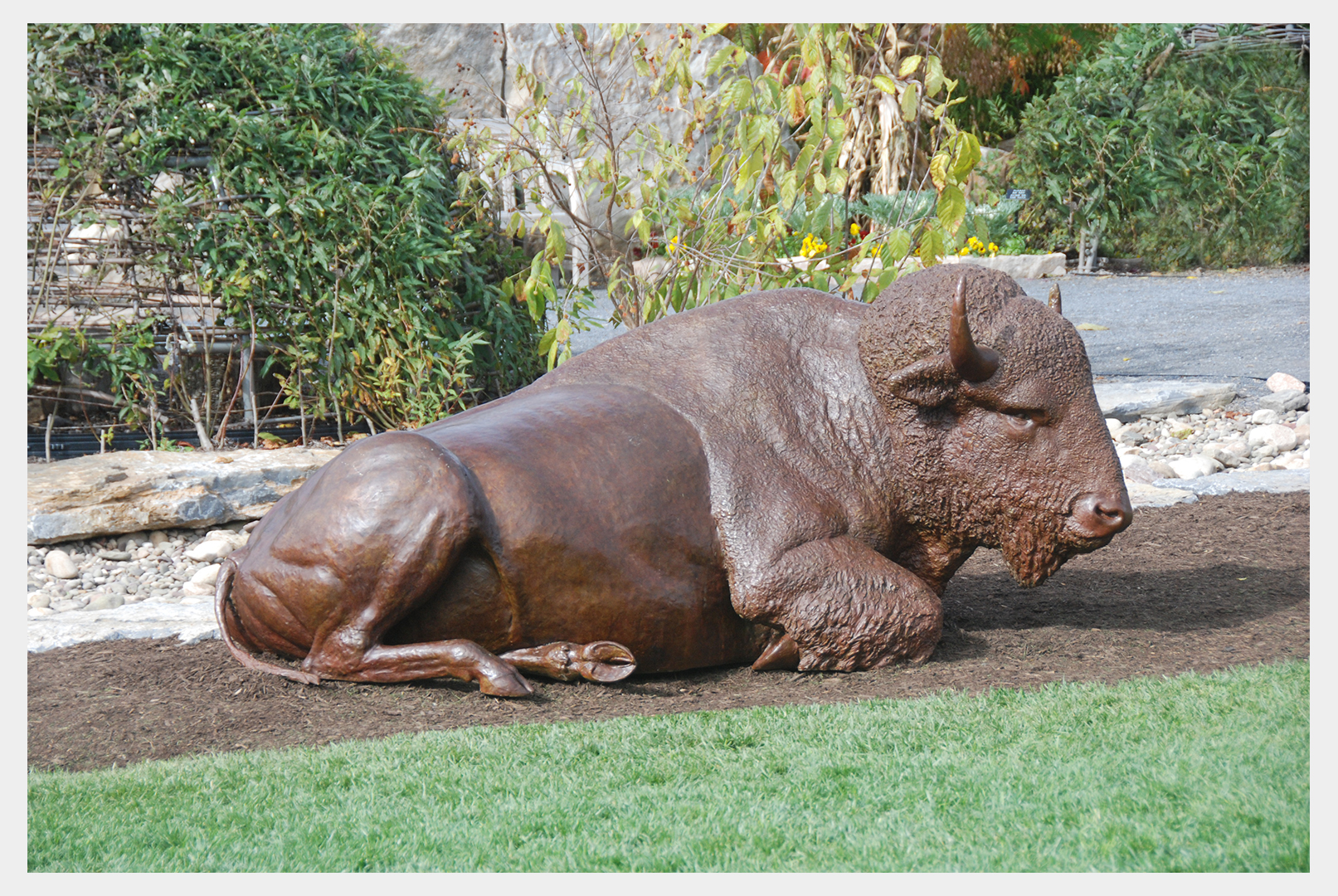 Life-size realistic bronze sculpture of a reclining buffalo in the Arboretum at Penn State University