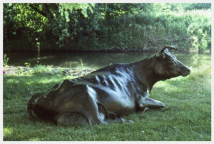 Realistic bronze sculpture of a pregnant Jersey Cow reclining, head turned slightly to the right, life-size.