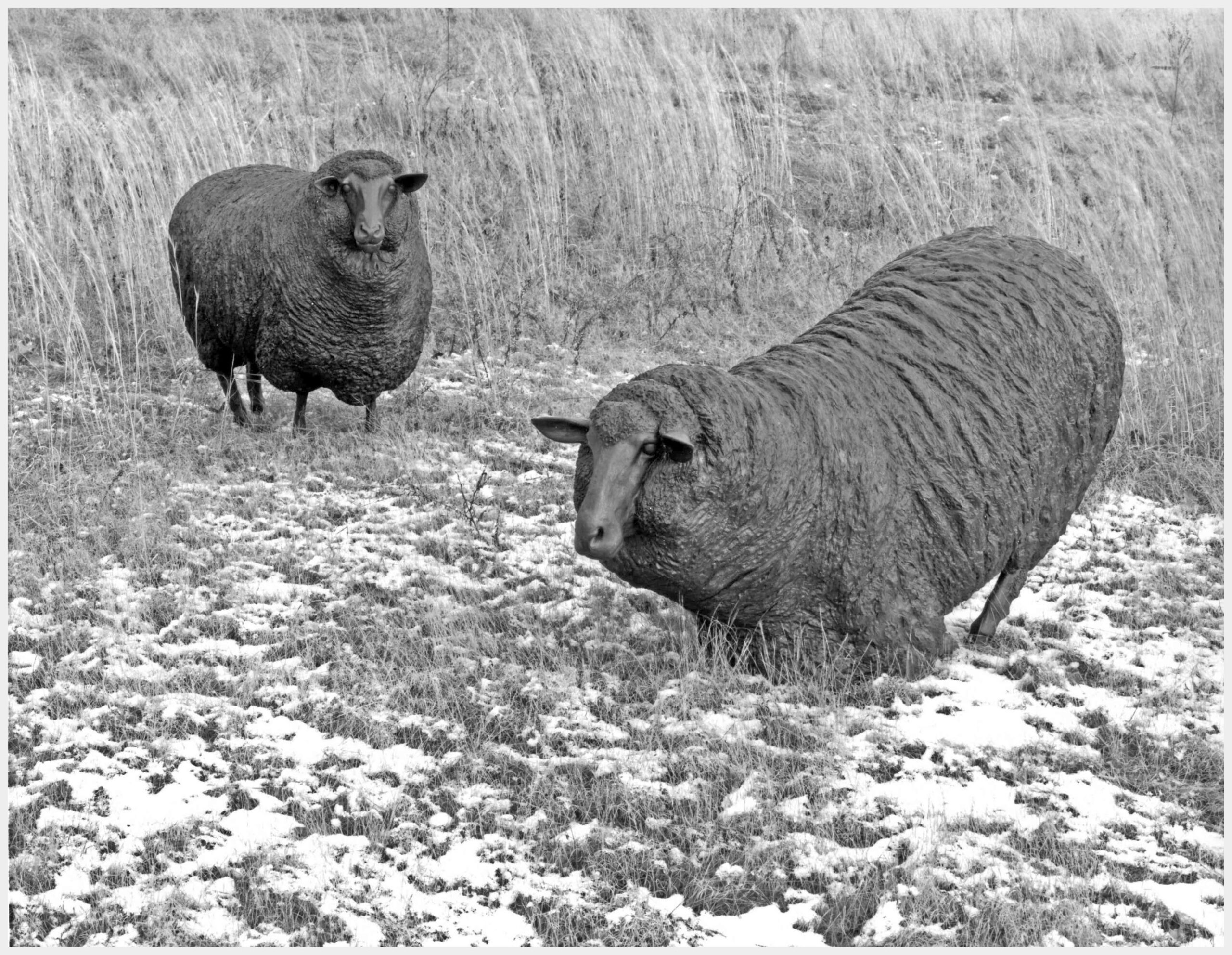 Realistic life-size bronze sculpture of a pair of sheep one rising from its knees head turned left and the other standing head turned to the right both watching in alarm