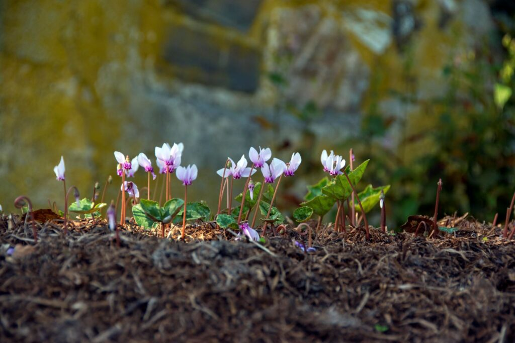 cyclamen Japanese water garden Bright 1