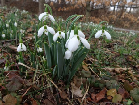Snowdrops Painting Bright